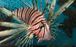 Επικίνδυνο λεοντόψαρο έπιασε ψαροντουφεκάς στην Κρήτη – Newsbeast
