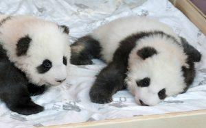 «Βαφτίστηκαν» τα δύο γιγάντια πάντα που γεννήθηκαν στον Ζωολογικό Κήπο του Βερολίνου